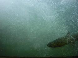 魚道を泳ぐ「鮭」
