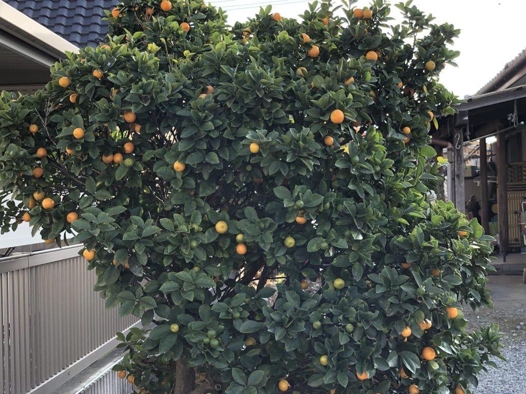 金柑(キンカン)の木